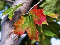 Rotes und grünes Ahornblatt auf dem Baum Lizenzfreie Stockbilder
