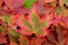 Rotes und grünes Ahornblatt auf einem Hintergrund des Herbstlaubs lizenzfreie stockfotografie