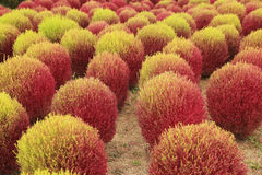 Rotes und grünes Kochia oder Bassia scoparia Anlage auf dem Gebiet Stockfoto