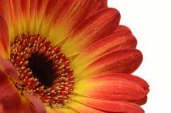 Rotes und orange Gänseblümchen-Blume Stockbild