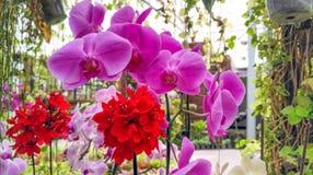 Rotes und purpurrotes Blumenblühen Lizenzfreies Stockbild