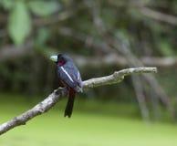 Rotes und schwarzes Broadbills Stockfoto