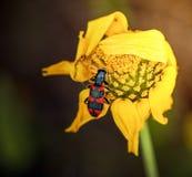 Rotes und schwarzes Insekt auf verwelkter gelber Blume lizenzfreie stockfotos