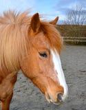 Rotes und weißes Pony Lizenzfreie Stockfotos