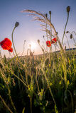 Rotes Unkraut im Sonnenaufgang Stockfotos