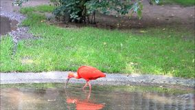 Rotes Vogel Eudocimus-ruber stock video footage