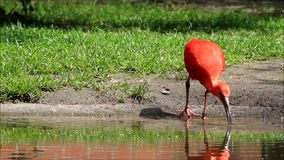 Rotes Vogel Eudocimus-ruber stock video