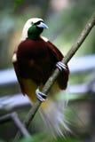 Rotes Vogel-von-Paradies Stockfoto