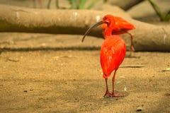 Rotes VogelScharlachrot IBIS- Stockbild