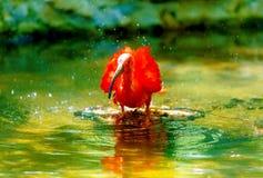 rotes Wasser mit einem langen Schnabel Bewirken Sie seitlichen 50mm Nikkor Lizenzfreies Stockbild