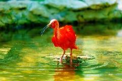 rotes Wasser mit einem langen Schnabel Bewirken Sie seitlichen 50mm Nikkor Stockfotografie