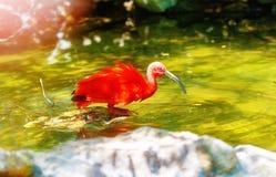 rotes Wasser mit einem langen Schnabel Bewirken Sie seitlichen 50mm Nikkor Stockfoto