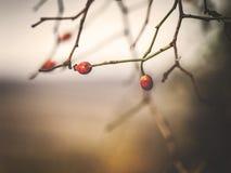 Rotes Weißdornmakro des Herbstes Stockbilder