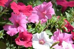 Rotes weißes rosa Petunienwachsen Lizenzfreie Stockfotos