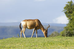 Rotes weiden lassendes Hartebeest, Addo Elephant National Park Stockfoto