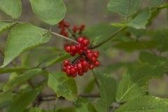 Rotes Wolfberry Lizenzfreies Stockbild