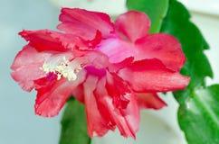 Rotes Zygo - Zygocactus-Nahaufnahme Lizenzfreies Stockbild