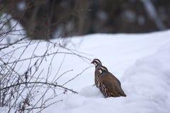 Rotfüßige Rebhühner (Alectoris rufa) im Schnee Lizenzfreie Stockfotos