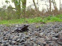 Rotfüßiger Frosch auf einem Weg Lizenzfreie Stockbilder