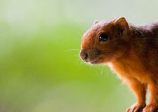 Rotfüßiges Eichhörnchen am aus nächster Nähe Stockfotos