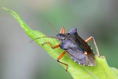 Rotfüßiges Shieldbug, Pentatoma-rufipes Lizenzfreies Stockfoto