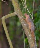 Rotfüßiges Sun-Eichhörnchen Lizenzfreies Stockfoto