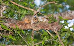 Rotfüßiges Sun-Eichhörnchen Lizenzfreie Stockbilder