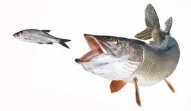 Rotfeather de chasse à brochet de rivière libéré Photos stock