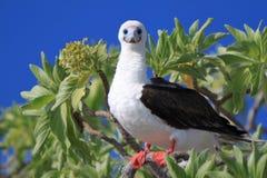 Rotfußtölpel-Vogel stockbild
