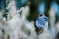 Rotfussfalke, Falco-vespertinus, sitzend auf Niederlassung mit Naturlebensraum Vogel von Ungarn Falke mit roten Augen Mann des Ga Stockfotografie