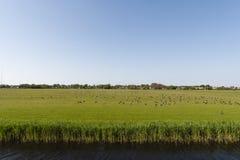 Rotgans, Темн-bellied гусыня Брента, bernicla чёрной казарки стоковое фото rf