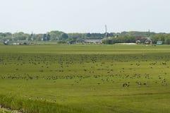 Rotgans, Dark-bellied Brent Goose, Branta bernicla. Zwarte Rotgans groep foeragerend op weiland; Dark-bellied Brent Goose foraging at meadow royalty free stock photos