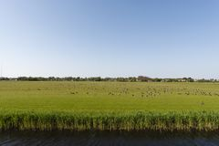 Rotgans, Dark-bellied Brent Goose, Branta bernicla. Zwarte Rotgans groep foeragerend op weiland; Dark-bellied Brent Goose foraging at meadow royalty free stock photo