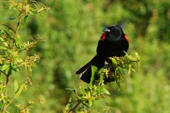 Rotgeflügelte Amsel Stockbild
