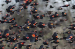 Rotgeflügelte Amseln im Flug Lizenzfreies Stockfoto