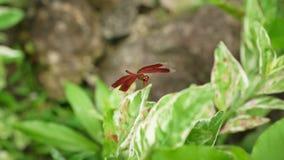 Rotgeflügelte Libelle stockbilder