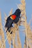 Rotgeflügelte singende Amsel Stockbild