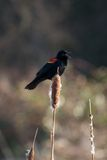 Rotgeflügelte singende Amsel Stockfotos