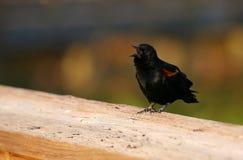 Rotgeflügelter schwarzer Vogel lizenzfreies stockbild