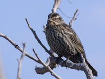 Rotgeflügelter schwarzer Vogel auf Niederlassung Lizenzfreie Stockbilder
