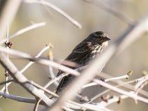Rotgeflügelter schwarzer Vogel auf Niederlassung Lizenzfreies Stockfoto