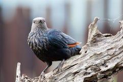 Rotgeflügeltes Starling auf dem Zweig, der nach vorn schaut Stockfotos