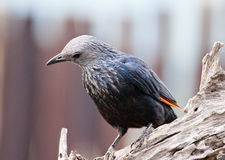 Rotgeflügeltes Starling mit dem Kopf gekippt Stockfotos