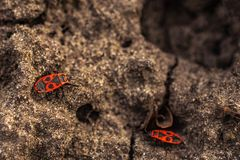 Rotgeflügeltes wingless - eine gewöhnliche terrestrische Wanze der Familie der Rotgreifer, 9-11 Millimeter messend stockbild