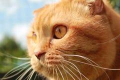 Rothaarige britische Katze mit Hängeohren Stockfotografie