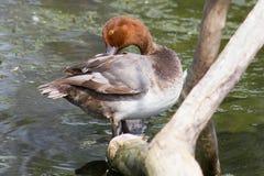 Rothaarige Duck Preening auf einem Klotz Stockfotos