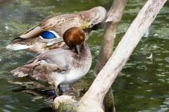 Rothaarige-Ente auf Klotz Lizenzfreie Stockbilder