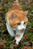 Rothaarige Katze Lizenzfreies Stockfoto