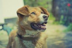 Rothaarigehundeporträt Stockfotos