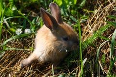 Rothaariges Kaninchen auf dem Bauernhof Rothaarige Hasen auf dem Gras in der Natur Lizenzfreie Stockfotografie